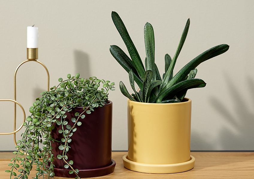 A hanging plant in a purple plant pot next to a pointy plant in a yellow plant pot